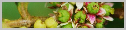 evodiamine-plant